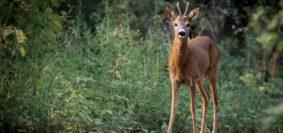 Caccia capriolo in Toscana: stop all'abbattimento di cuccioli e femmine (Pixabay)