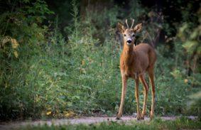 Toscana: il Tar respinge il ricorso sulla caccia di selezione del capriolo