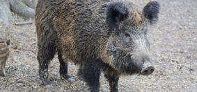 La giunta regionale del Molise ha approvato nei giorni scorsi la delibera che istituisce la caccia di selezione al cinghiale